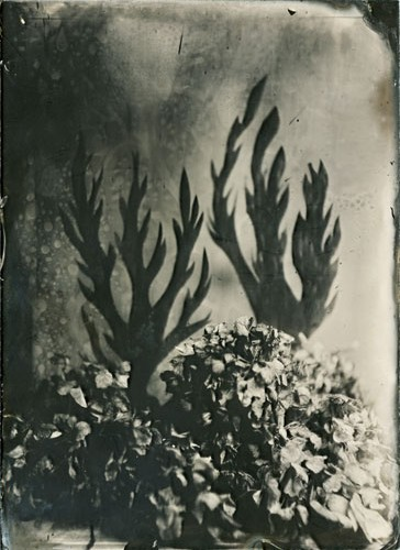 Flamme-noir-et-hydrangea-©-Bertrand-Secret-Ambrotype